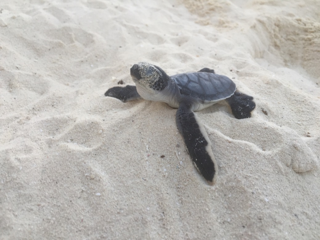 Baby sea turtle on the beach in Cancun, Mexico. Photo copyright Valerie Duty Citrano www.PieLadyLife.com