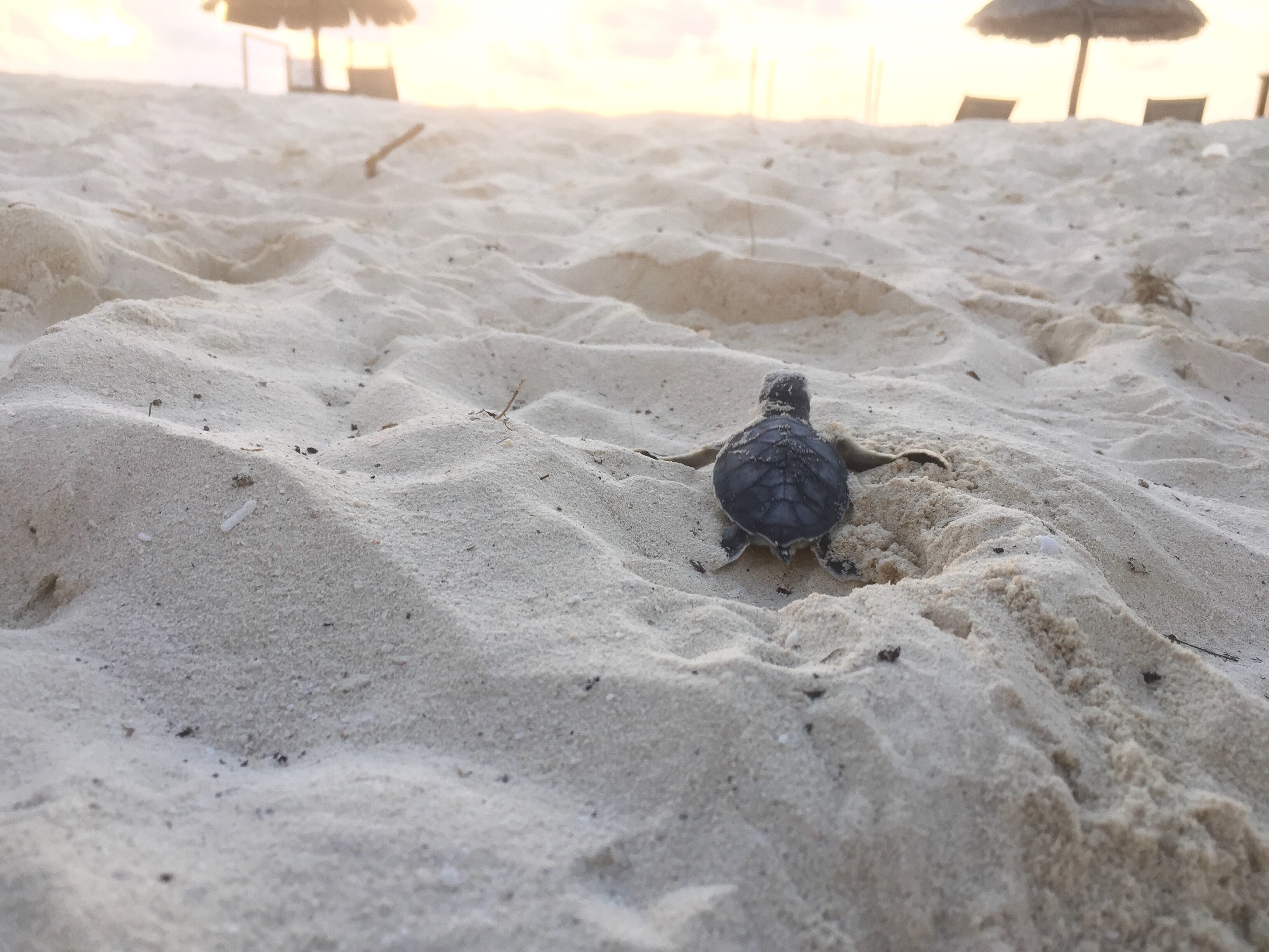 Newly hatched sea turtle heading to the ocean on the beach in Cancun , Mexico Photo copyright Valerie Duty Citrano www.PieLadtLife.com