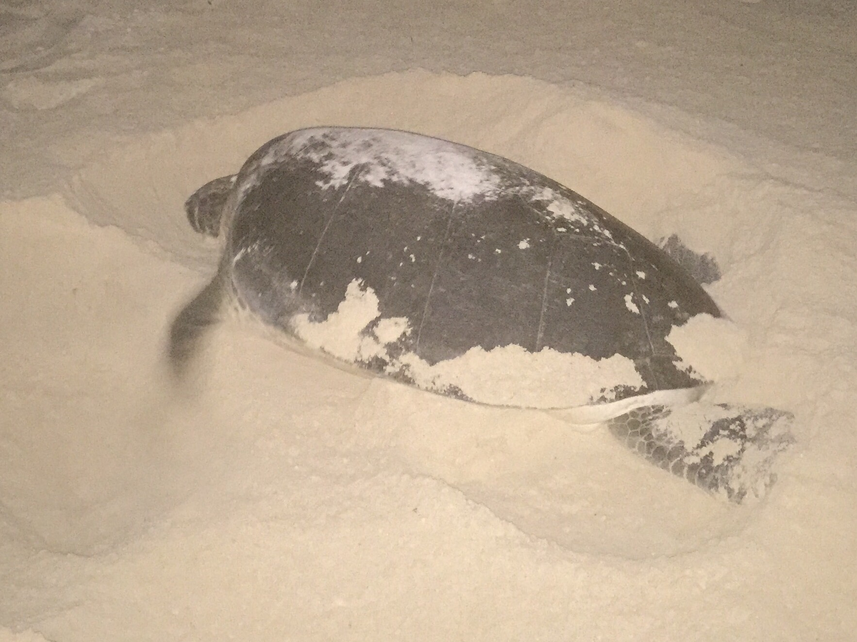 A female sea turtle laying her eggs on a Cancun beach. Photo copyright Valerie Duty Citrano www.PieLadyLife.com